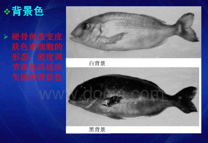 背景色对鱼体色的影响