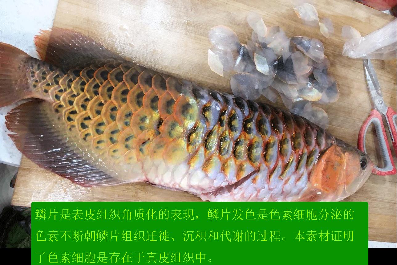 龙鱼去除鳞片后的表皮 也带有色素沉淀