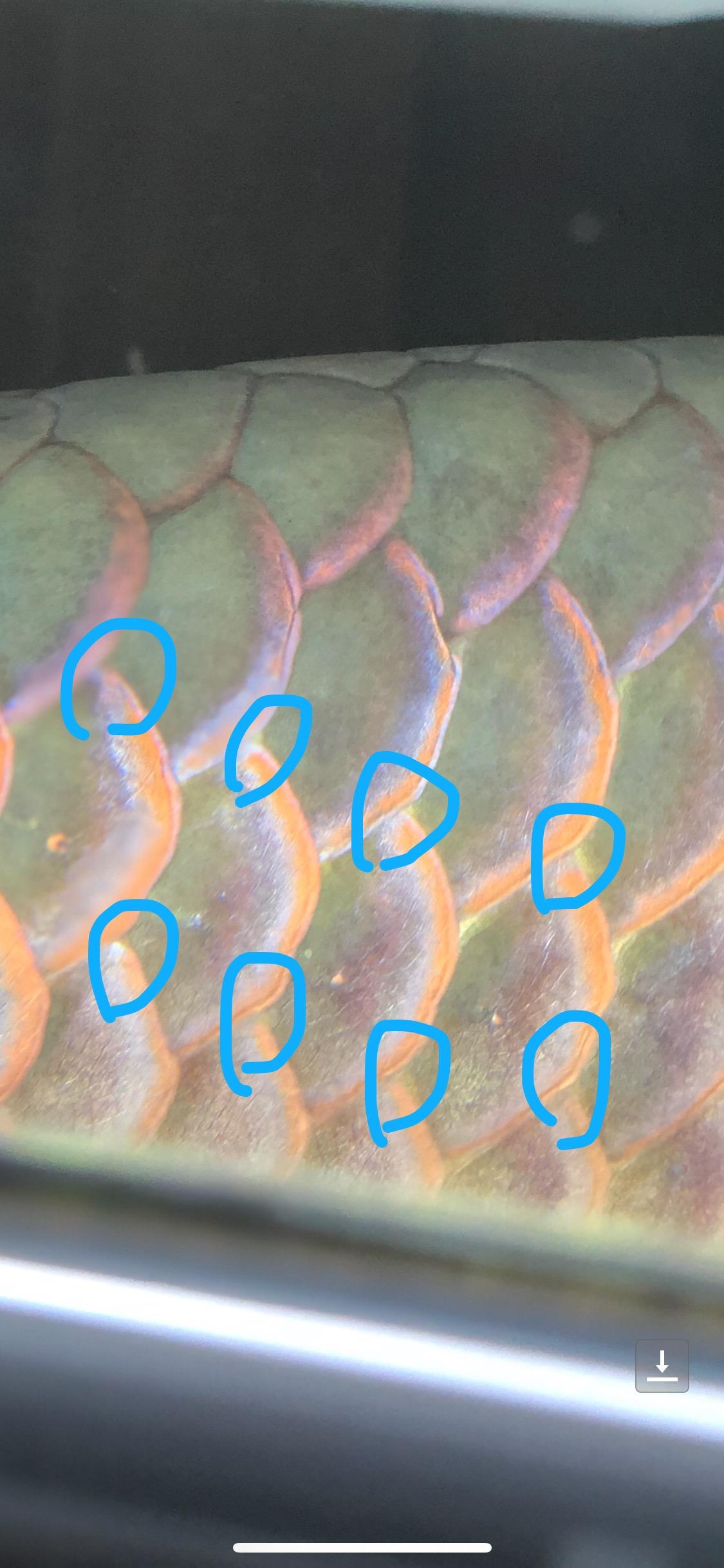 龙鱼鳞片色缝