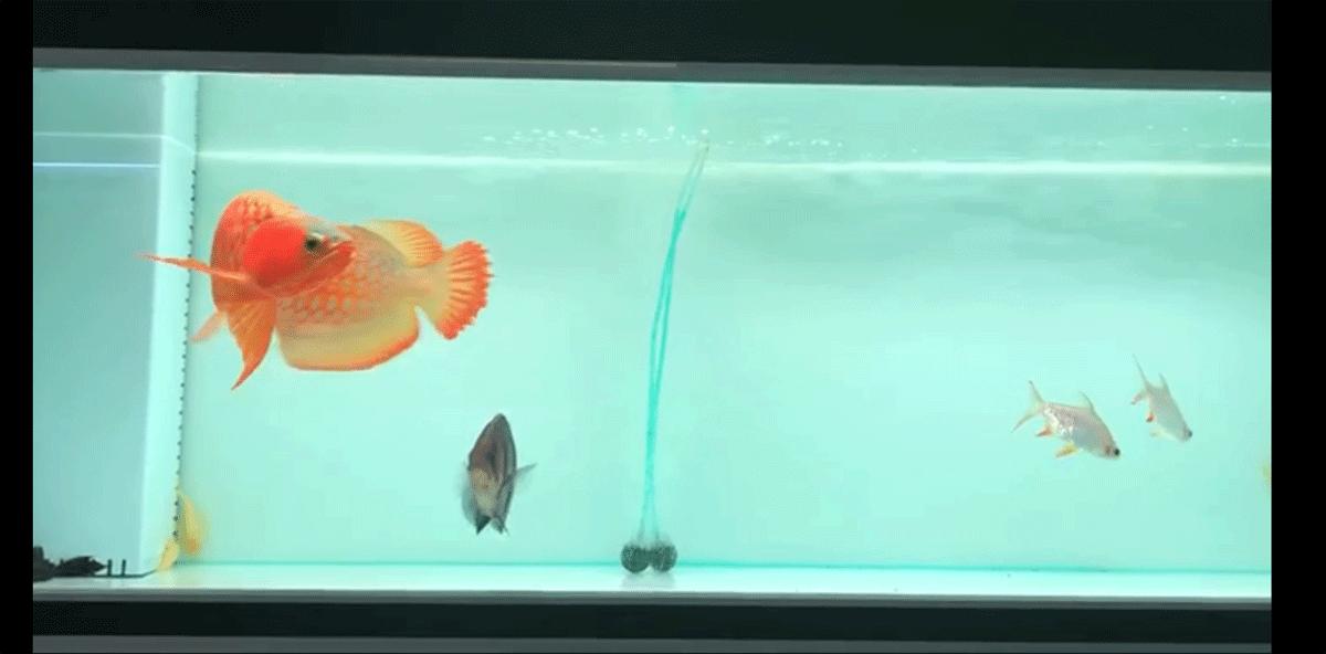 漂亮的大红龙鱼3