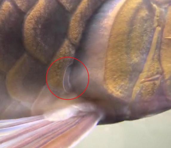 龙鱼鳃膜增生