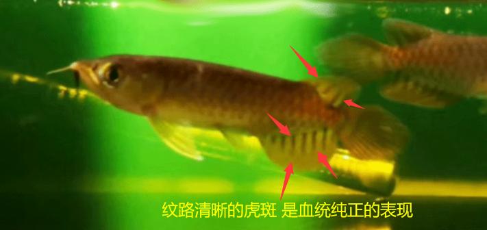 龙鱼的虎斑