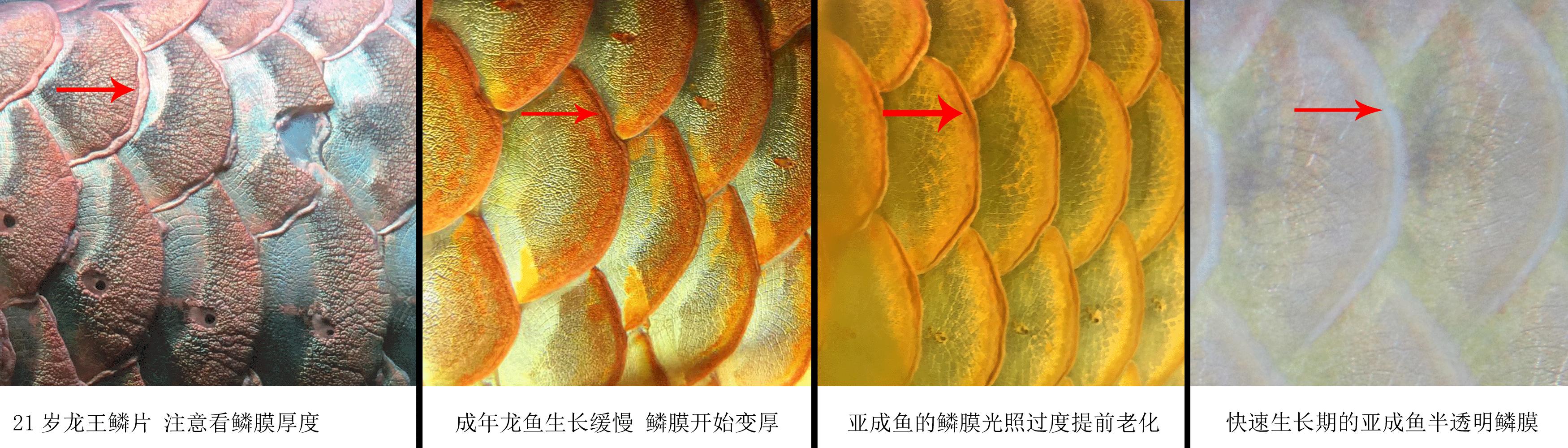 龙鱼鳞膜的表现与光照的关系